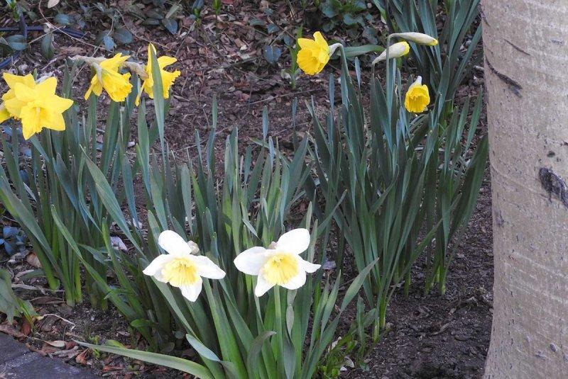 Black Pip in Springtime - Daffodils
