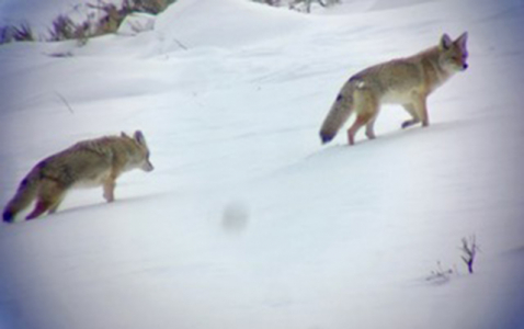 chasing_wolves_3