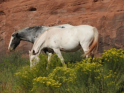 horses_canyon_de_chelly