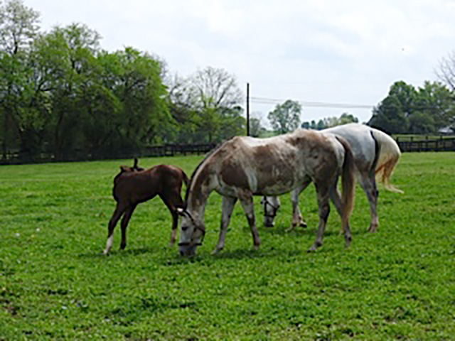 Horses in Kentucky