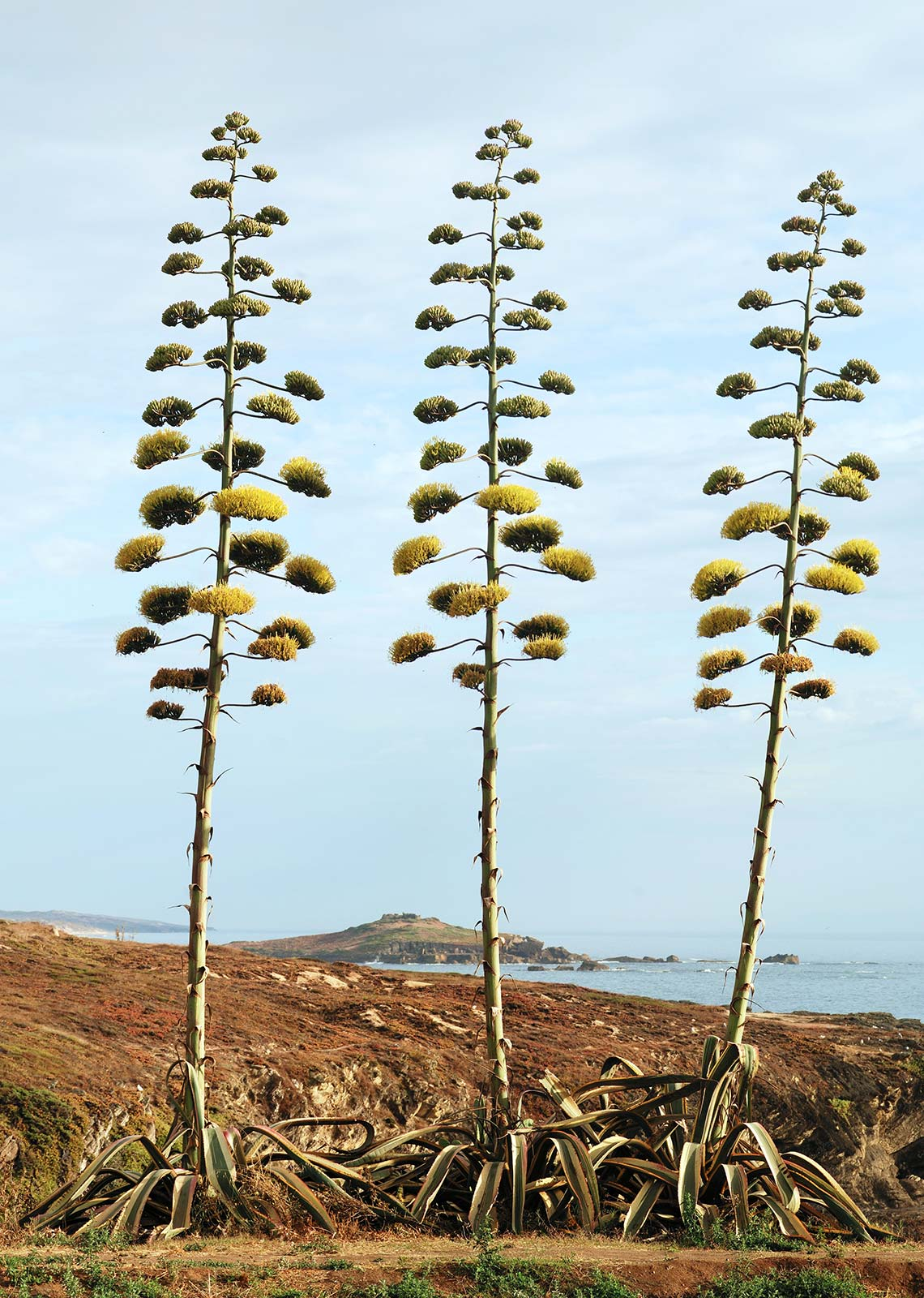 Agave americana in bloom in Portugal.
