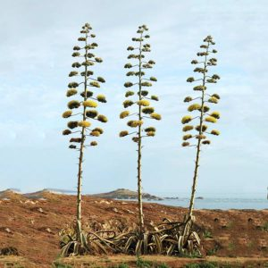 Agave americana in bloom in Portugal (Wikipedia).