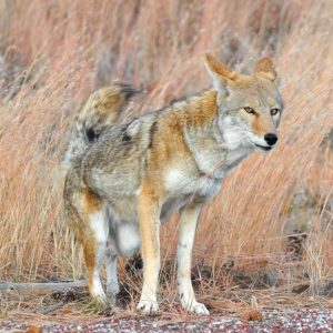 Coyote, New Mexico