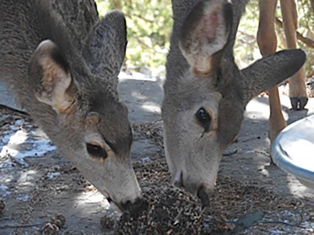 Breakfast with Deer