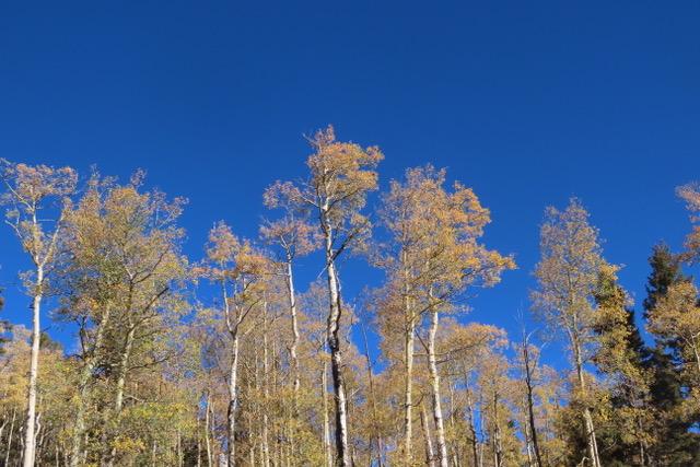 Photo of golden Aspen trees