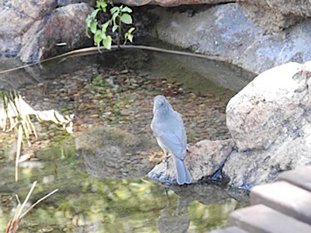 Nuthatch bird preparing to drink