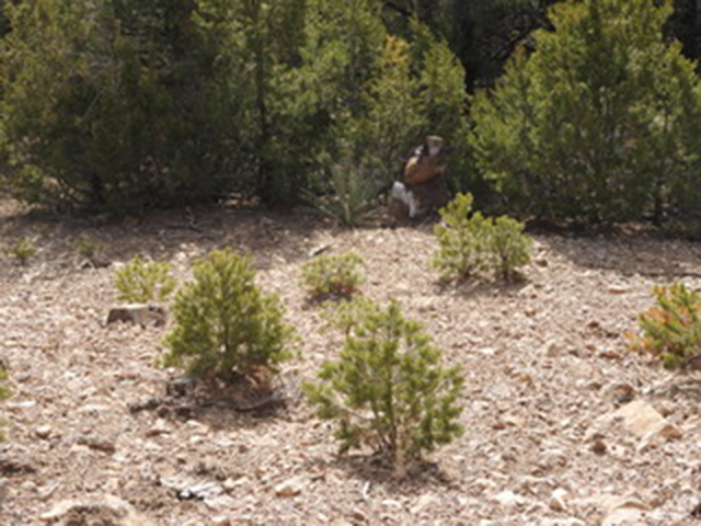 Piñon Seedlings - Santa Fe New Mexico