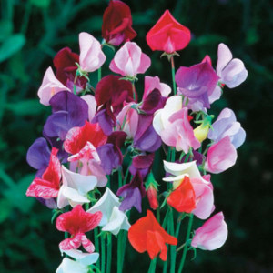 Sweet Pea Flower