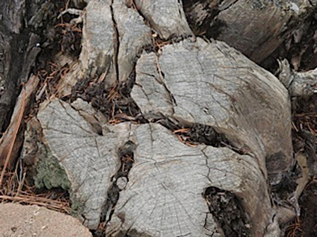Tree Stump in Winter