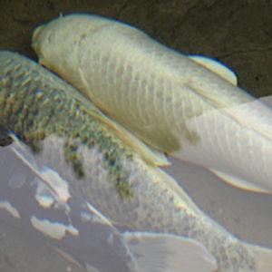 Fish in Winter